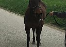Quarter Horse Mare for Sale in Bellville, Ohio