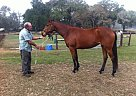 Thoroughbred Mare for Sale in Ocala, Florida