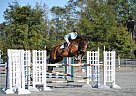 Hanoverian Mare for Sale in Ocala, Florida