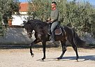Andalusian Stallion for Sale in Alicante, Spain