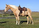Sundust - Gelding in Jamestown, KY