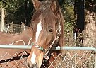 Paso Fino Gelding for Sale in Jackson, South Carolina