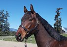 Warmblood Gelding for Sale in Salmon Arm, British Columbia