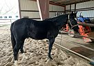 Waylan - Stallion in Paragould, AR