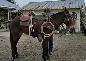 Mules for Sale - Free Ads - HorseWeb