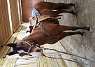 - Gelding in Grove City, PA