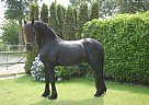 Friesian Stallion for Sale in Garijp, The Netherlands, Netherlands