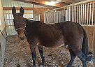 Gite - Gelding in Bainbridge, IN