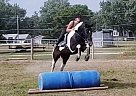Paint Gelding for Sale in Ft. Wayne, Indiana
