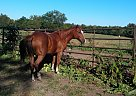 Quarter Horse Gelding for Sale in Kansas City, Missouri