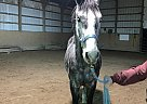Leo - Gelding in North Syracuse, NY
