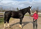 Royal - Gelding in Barrie, ON