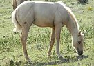 Quarter Horse Stallion for Sale in Hoxie, Kansas