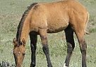 Paint Stallion for Sale in Hoxie, Kansas