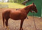 Quarab Gelding for Sale in Sweet Home, Oregon