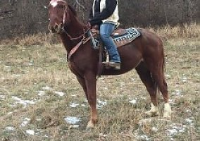 Tennessee Walking Gelding