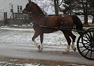 - Gelding in Shipshewana, IN