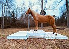 Flash - Gelding in RockHill, SC