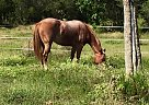 Quarter Horse Mare for Sale in Pass Christian, Mississippi
