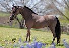 Miniature Mare for Sale in Crowley, Texas