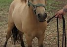 Miniature Stallion for Sale in Crowley, Texas