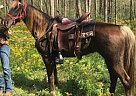 Rocky Mountain Mare