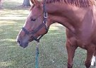 Paint Pony Mare for Sale in Christiansbrug, Virginia