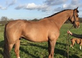 Dutch Warmblood Gelding