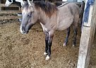Quarter Horse Stallion for Sale in Mulberry Grove, Illinois