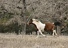 Lucky - Mare in Normangee, TX