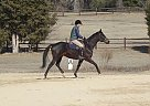 Thoroughbred Stallion for Sale in Sanford, North Carolina
