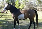 Mohawk-Barn name - Gelding in Magnolia, TX