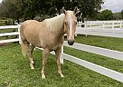Badger - Gelding in Coral Springs, FL
