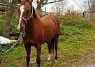 Thoroughbred Mare for Sale in Groton, New York