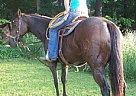 Quarter Horse Stallion for Sale in Harrison, Arkansas