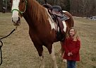 Tennessee Walking Mare for Sale in Spotsylvania, Virginia