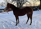 Quarter Horse Stallion for Sale in Chamois, Missouri