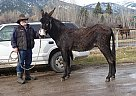 - Stallion in Stevensville, MT