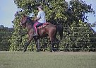 AJ - Gelding in Haines City, FL