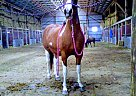 Paint Mare for Sale in Harrison, Michigan