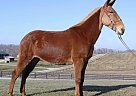 Mule Mare for Sale in Brodhead, Kentucky