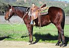 FLICK - Gelding in Oak View, CA