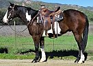 Paint Gelding for Sale in Oak View, California