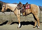 SHAKA KING - Gelding in Oak View, CA