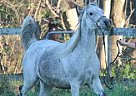 Arabian Mare for Sale in Whitewater, Wisconsin