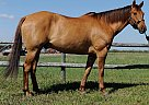 Appendix Gelding for Sale in Stonewall, Manitoba
