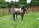 Freckles - Gelding in Benton Harbor, MI