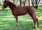 Tennessee Walking Mare for Sale in Somerset, California