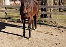 Thoroughbred Mare for Sale in Waynesville, Ohio