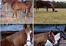 Tennessee Walking Mare for Sale in Ponce De Leon/ Defuniak Spring, Florida